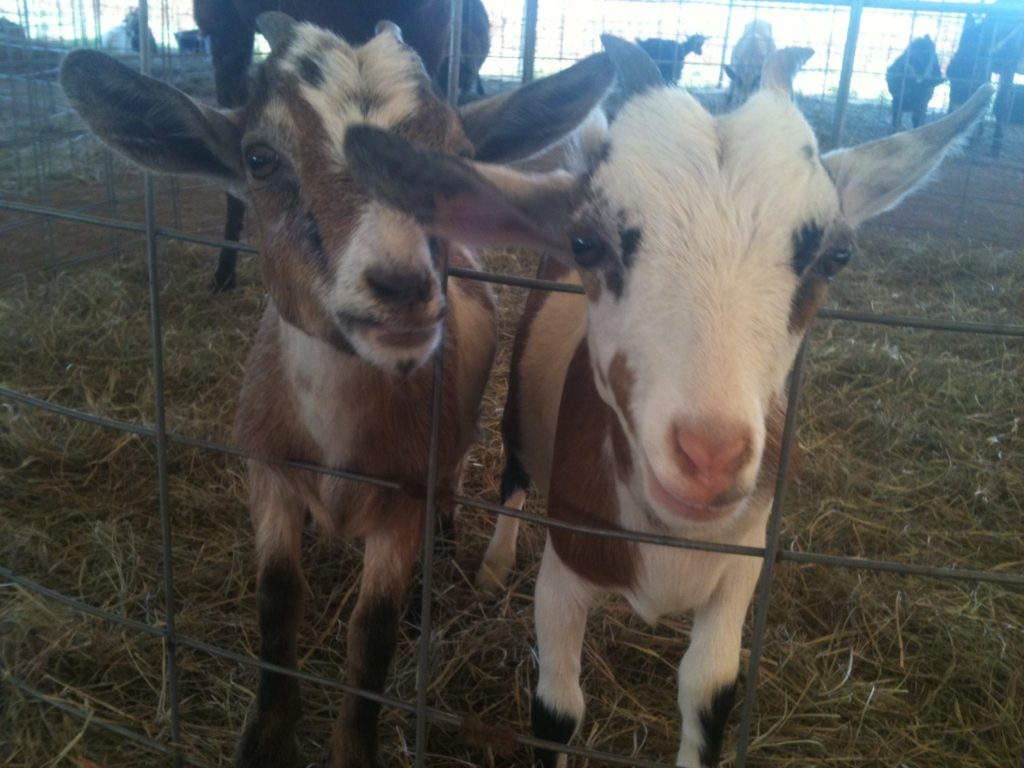 Petting Zoo at Magnolia Corn Maze